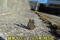 真冬にクロツバメシジミが飛んだ - 秩父の蝶