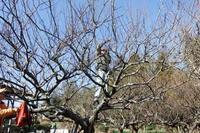 仕事初めで梅の木剪定 - 里山を歩く会