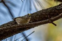 ピンボケ‥(^^ゞ - 趣味の野鳥撮影