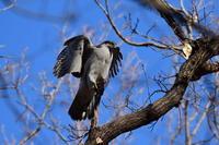 オオタカ01月05日 - 旧サンヨン野鳥撮影放浪記