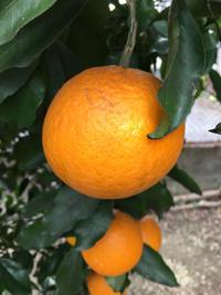 オレンジが育ってきました - 岡山の米作り名人