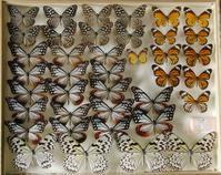いまだにオオゴマダラ - 呑むさん蝶日記