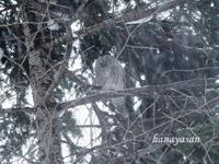 フクロウ~野幌森林公園 - こもれびの森