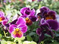 エディブルフラワーとしても楽しめるビオラ - 神戸布引ハーブ園 ハーブガイド ハーブ花ごよみ