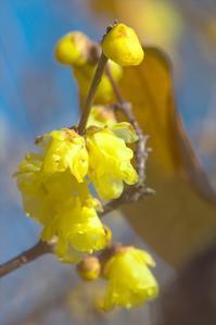 縮景園:既にロウバイが咲いてました。(2019/01/04) - まるさん徒歩PHOTO 4:SLやまぐち号・山風景など…。 (2018.10.9~)