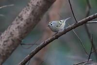 キクイタダキ水飲みに - 気まぐれ野鳥写真