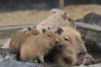 カピバラ五つ子赤ちゃん温泉を満喫!(埼玉県こども動物自然公園) - 続々・動物園ありマス。