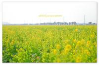 菜の花。 - Yuruyuru Photograph