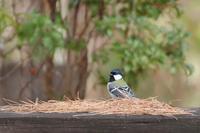 野鳥 - 暮らしの中で
