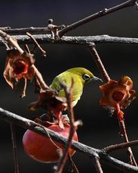 残り柿にやって来た野鳥たち - 自然の写真帖