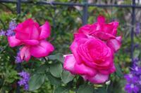 薔薇の名前Ⅰ - 季節の風を追いかけて