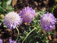 洋風のお庭に似合う小さく可憐な花 - 神戸布引ハーブ園 ハーブガイド ハーブ花ごよみ