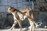 多摩動物公園2019年1月6日チーターっこ - お散歩ふぉと2