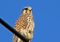 ・チョウゲンボウ - 鳥見撮り