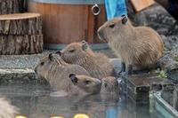 泳ぐ!食べる!カピバラ温泉と五つ子赤ちゃん(埼玉県こども動物自然公園) - 続々・動物園ありマス。