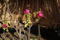 寒牡丹がなかなか咲かない - yoshiのGR散歩