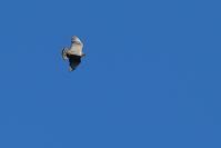初詣?【クマタカ・オオマシコ・オシドリ】 - 鳥観日和