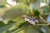 ハラビロカマキリの卵鞘 - こんなものを見た2