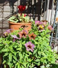 ペチュニアがまだ咲いてます♪ - ひだまりの庭 ~ヒネモスノタリ~
