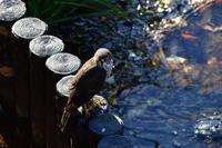 ツミ12月31日 - 旧サンヨン野鳥撮影放浪記