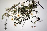 第2回バラの文化と歴史講座「ボタニカルアートから世界に発信する日本のバラ」のお知らせ -  日本ローズライフコーディネーター協会