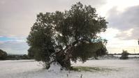 オリーブ巨木セコラーレ covered with snow ❄️ - 情熱的イタリア生活