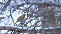 小雪舞う中でハチジョウツグミ - 雅郎の花鳥風月