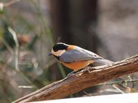 『松尾池の鳥(ヤマガラ・オシドリ・マガモ)』 - 自然風の自然風だより