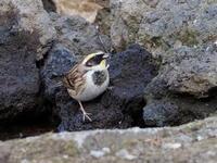 ミヤマホオジロが来てくれた - コーヒー党の野鳥と自然 パート2
