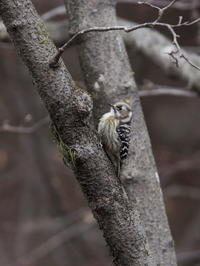 コゲラが飛来した - コーヒー党の野鳥と自然 パート2