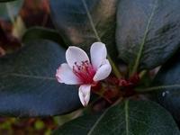 冬に映える赤い実(センリョウ、ナンテン)、シャリンバイの花は返り咲き - 花と葉っぱ