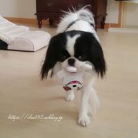 パレードちう☆犬ごはん頑張って作っているもの - 狆の茶々丸