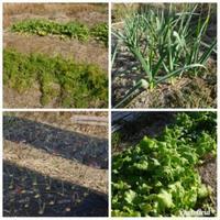 初畑で収穫・・・里芋、大根、人参 - 化学物質過敏症・風のたより2