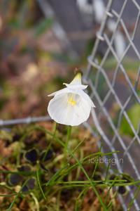 原種の水仙 - 小さな庭 2