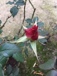 冬空の薔薇 - 今日もひとつだけ