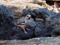 朝のうちはシメがよく出てくれました。 - コーヒー党の野鳥と自然 パート2