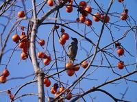 冬に残された柿の色。 - 丙丙凡凡(蛙声diary)
