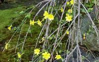 「オウバイ」と「ソシンロウバイ」 - hebdo時季(とき)の花