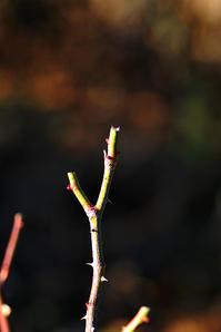 1/8バラの剪定は失敗の予感 - 「あなたに似た花。」