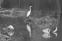 ピアノ池の鳥たち -ダイサギ 3羽- - It's only photo 2