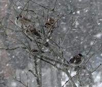 雪の日の雀ちゃんと、お向かいの庭に来たアカゲラなど♪ - 窓の向こうに