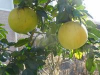 晩白柚(バンペイユ)の収穫 - ミモザアカシアの日々