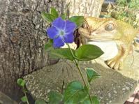 蔓日日草 - だんご虫の花