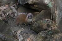 里山でイタチとの出会い - 私の鳥撮り散歩