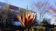 百合の木の蒴果・・・American tulip tree - 『私のデジタル写真眼』