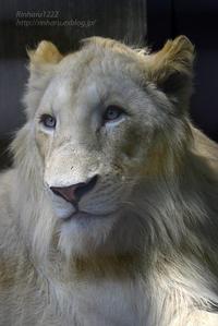 2018.5.5&6【合併号】宇都宮動物園☆ホワイトライオンのステルクくん【White lion】 - 青空に浮かぶ月を眺めながら
