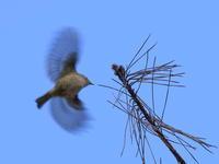 キクイタダキ - 『彩の国ピンボケ野鳥写真館』