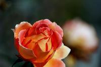 冬に咲く薔薇 - kurione9の気儘なフォトブログ