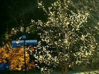 昭和記念公園の蝋梅 - 光の音色を聞きながら Ⅳ