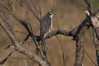 オオタカの木止まり - 近隣の野鳥を探して